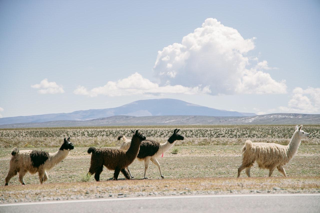 Alpakas in Peru